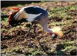 ...Birds see filename for species  [6/6] - South African Crowned Crane (Balearica regulorum)003.jpg