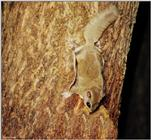 Southern Flying Squirrel (Glaucomys volans volans)1