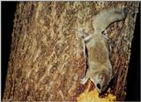 Southern Flying Squirrel (Glaucomys volans volans)2