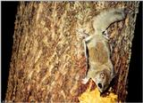 Southern Flying Squirrel (Glaucomys volans volans)3
