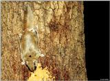 Southern Flying Squirrel (Glaucomys volans volans)4