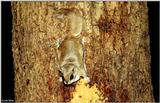 Southern Flying Squirrel (Glaucomys volans volans)5