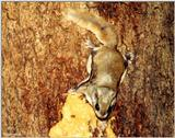 Southern Flying Squirrel (Glaucomys volans volans)6