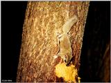 Southern Flying Squirrel (Glaucomys volans volans)8