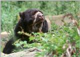 Spectacled Bear 2