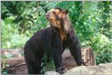 Spectacled Bear 3