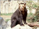 Spectacled Bear 1