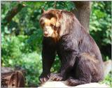 Spectacled Bear I