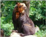 Spectacled Bear II