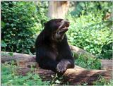 Spectacled Bear IV