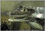 Author - the Spectacled Caiman (Caiman crocodilus)