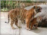 More of Batu the Sumatran tiger cub - Kitty and Daddy in Heidelberg Zoo, 1024x768