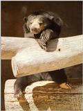 1998 San Diego Zoo rescan/repost - Malayan sun bear looking intelligent