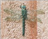 Souvenir from Sweden: dragon fly
