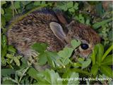 Eastern Cottontail Rabbit (baby)