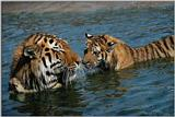 Tiger-Mother-in-Water