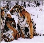 Two Tigerpics