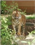 Tuan the Sumatran Tiger, next one - he looks sooo sweet in this portrait :-)
