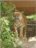 As promised, next one - Tuan the Sumatran tiger, still looking sweet