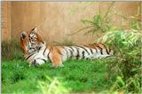 Still not out of Siberian tiger pics- Siberian doing the rug thing - and my WWW page updated