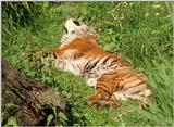 More Wilhelma Zoo pictures - the 20 year old Sumatran tigress doing the rug thing