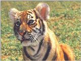 Tiger Cub 4 Dreamworld Australia 1/1 jpg