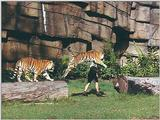 Tigers of Dreamworld Australia  6/7 jpg
