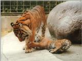 Sweet little Batu the Heidelberg Zoo Sumatran tiger cub - Pulling Dad's leg is fun :-)