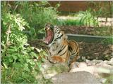 From my recent Wilhelma Zoo trip - Tuan the Sumatran tiger says