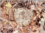 ...Pics from the Largest Timber Rattlesnake Den in Virginia  [3/5] - Timber Rattlesnake  (Crotalus