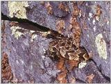 ...Pics from the Largest Timber Rattlesnake Den in Virginia  [4/5] - Timber Rattlesnake  (Crotalus