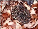 ...Pics from the Largest Timber Rattlesnake Den in Virginia  [5/5] - Timber Rattlesnake  (Crotalus