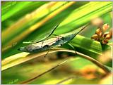 Tongro Photo-h83-Korean Insect-grasshoppers