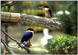 청호반새 Halcyon pileata (Black-capped Kingfisher)
