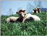 Tongro Photo-k32-4 Sheep-Sitting On Grassland