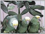 Double yellow head amazons and their babies - tresmarias175.jpg