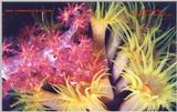 More soft corals of Truk