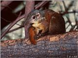 Terrestrial Tree Shrew