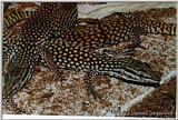 Red Spiny Tailed Monitor
