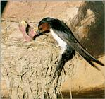 Birds of Korea - Barn Swallow (새끼를 돌보는 제비)