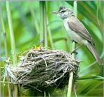 Birds of Korea - Great Reed Warbler (개개비)