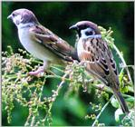 Birds of Korea - Tree Sparrow