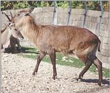 Looking through some old animal photos - Copenhagen Zoo again - female waterbuck
