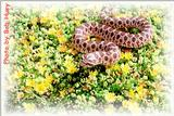 Nice Western Hognose Picture