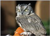 Re: Birds 'N Bees -- Western screech owl (Otus kennicottii)