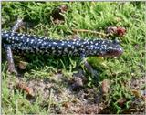 A couple more White-spotted Slimy Salamander Images 1