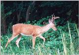 White-tailed deer 1