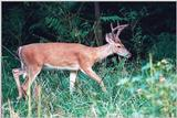 White-tailed deer 7