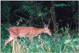 White-tailed deer 8 - Fawn