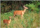White-tailed Deer (Doe & Fawn)
